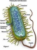 BacteriaCell