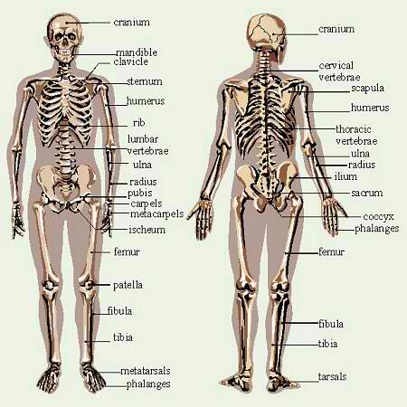 Xtgem anatomy of skeletal system human complete skeletonanterior and posterior view ccuart Image collections