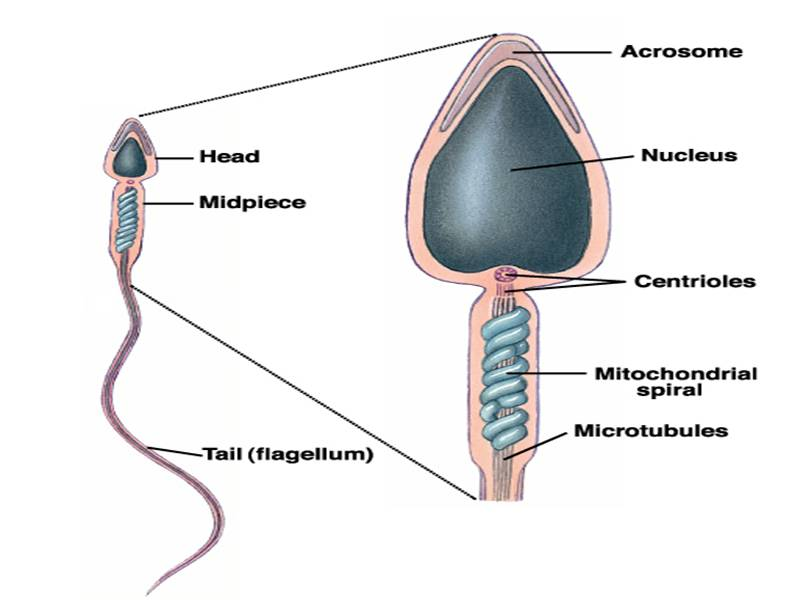 What's the Function of a Sperm Cell? - Definition & Structure